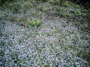 waldwiese-mit-blauen-blumen